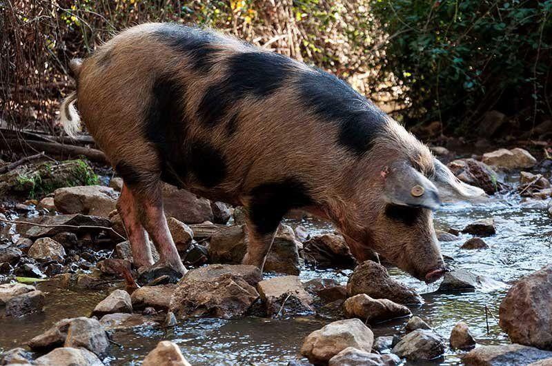 cerdo manchado jabugo